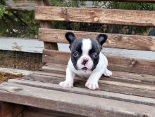 Cute and lovely trained French Bulldog pups available