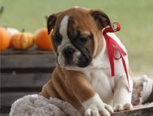 Cute male and female English bulldog Puppies available