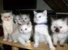 Lovely ragdoll kittens ready for forever homes!!email petsgroomer3@gmail.com or text (331)-625-1869