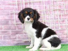 Top quality Male and Female Cavalie king charles puppies