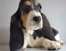 Two Basset hound puppies available.