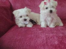 BREATHTAKING Maltese Puppies available to Go