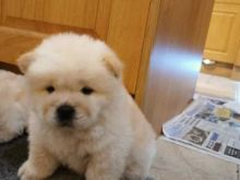 Excellence Chow Chow Puppies Male and Female for adoption