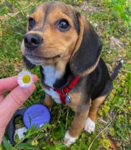 Fabulous Family Ckc Beagle Puppies Available