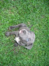 Lovely cute Blue Nose Pitbull puppies for adoption