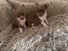 MALE AND FEMALE CHIHUAHUA PUPPIES AVAILABLE