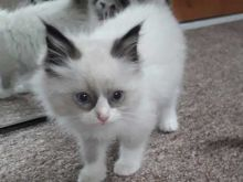 Playful Ragdoll Kittens Ready For Adoption