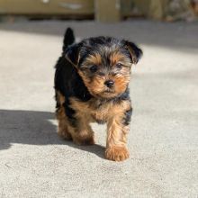 🐶🐶 C.K.C MALE 🐶 FEMALE 🐶 YORKSHIRE TERRIER PUPPIES $650 🐶🐶