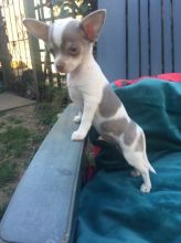 Awesome chihuahua puppies for adoption