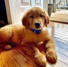 Excellent Golden Retriever Puppies available for adoption Email us annamelvis225@gmail.com