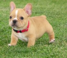 supers Adorable M&F French bulldog Puppies for sale