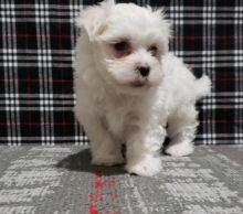 fabulous Maltese pups