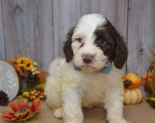 Top Quality Portuguese water dog , Ready. Males and Female Available