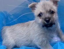 Amazing male and female Cairn terrier pups available