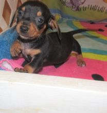Black and Fawn mini Dachshund Puppies for adoption Image eClassifieds4U
