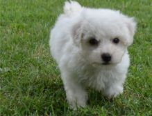 Charming Bichon Frise pups available Image eClassifieds4U