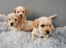 We have nice and healthy Cavachons puppies ready to leave Image eClassifieds4U