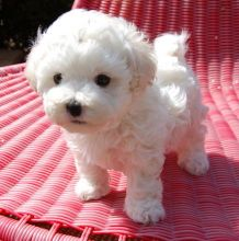 Absolutely Cute White Maltese Puppies Available