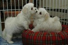 Playful White T-Cup Maltese Puppies(Boy & Girl)Available.