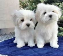 Two Adorable White Maltese puppies for your family.