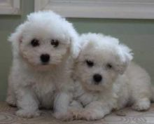 Very Playful White Maltese puppies ready for your family.