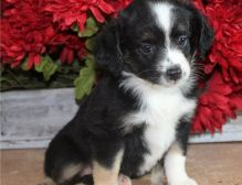 A.K.C registered Charming Australian Shepherd puppies available for adoption