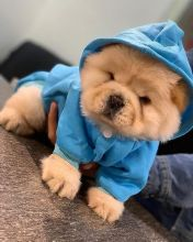 🐶🐶 CKC ANGELIC MALE 🐶🐶 FEMALE 🐶 CHOW CHOW 🐶PUPPIES 🐶 $650 🐶🐶