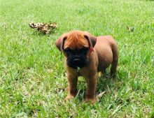 Beautiful A.K.C registered male and female Bull mastiff puppies ready