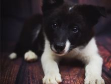 Beautiful male and female Border Collie puppies available for adoption