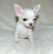 Cute and adorable male and female Chihuahua puppies ready for adoption