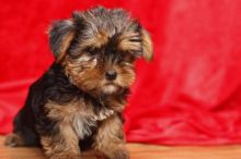 Outstanding A.K.C registered Male and Female Yorkshire Terrier puppies