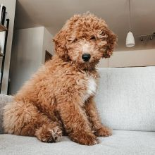 🐶🐶 CKC ANGELIC MALE 🐶🐶 FEMALE 🐶 GOLDENDOODLE 🐶PUPPIES 🐶 $650 🐶🐶