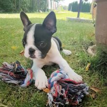 Boston Terrier puppies for good re homing to interested homes.
