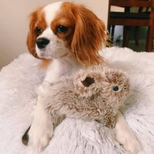 Cavalier King Charles Spaniel puppies🏠💕 Delivery is possible
