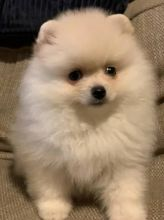 Pomeranian puppies available in good health condition for new homes