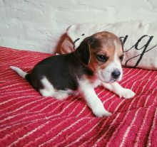 Wonderful Sweet Beagle Puppies male and female puppies for adoption