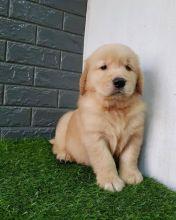 Golden Retriever Puppies Looking For New Homes Image eClassifieds4U