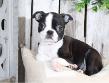 Beautiful AKC registered Boston terrier puppies available Image eClassifieds4U