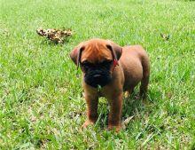 Beautiful A.K.C registered male and female Bull mastiff puppies Image eClassifieds4U