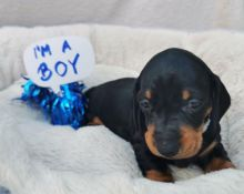Black & Tan Smooth Hairs Dachshund Puppies Text for more info and pics at (760) 452-1721