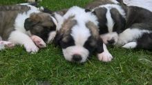 Outstanding St Bernard Puppies male and female Text now for more info and pics (760) 452-1721