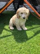 Red And Gold apoo Puppies For Sale Text only (760) 452-1721 for more info and pics