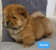 Chow Chow Puppies Available Now.Text (760) 452-1721 for more info and new pics..