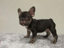 Good Looking French Bulldog Puppies.Text (760) 452-1721 for more info and new pics..