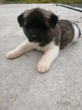 Well Trained Akita Puppies available Now.Text (760) 452-1721 for more info and new pics..