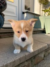 Welsh Pembroke Corgi Puppies Ready.Text (760) 452-1721 for more info and new pics..
