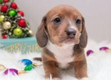 Dramatic Ckc Dachshund Puppies Available