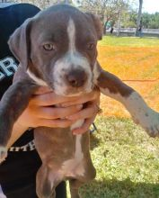 Charming Ckc American Pitbull Terrier Puppies