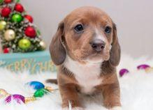 Ckc Dachshund Puppies Email at us  [ dowbenjamin8@gmail.com ]