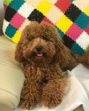 Fabulous Ckc Toy Poodle Puppies For Re-Homing
